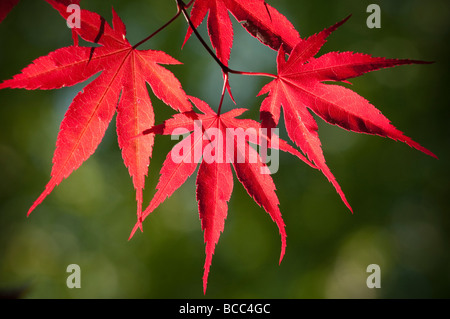 Japanese Red Leafed Maple - Stock Photo