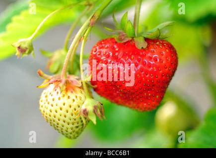 Strawberry, strawberries - Stock Photo