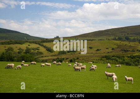 flock of sheep in a field on a hill farm in the sperrin mountains county derry londonderry northern ireland uk - Stock Photo