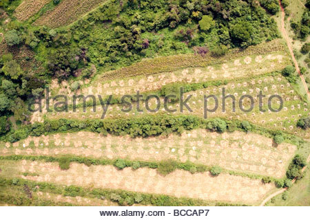Mais is hand harvested just west of Eldoret in the Rift Valley. - Stock Photo