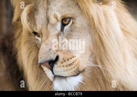 The strong and beautiful face of a male lion very close up - Stock Photo