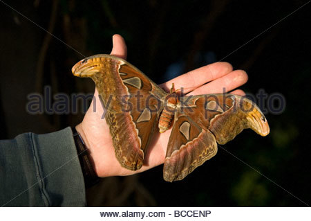 An atlas moth (Atlas attacus) at the St. Louis Zoo. - Stock Photo