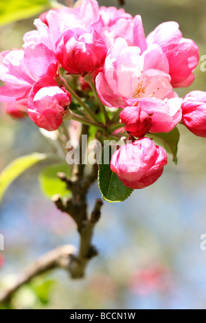 crabapple in full blossom fine art photography Jane Ann Butler Photography JABP467 - Stock Photo