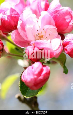 crabapple in full blossom fine art photography Jane Ann Butler Photography JABP466 - Stock Photo