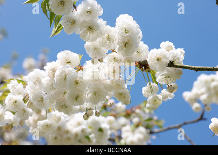 double gean blossom with its characteristic white drooping clusters a beautiful cherry tree - Stock Photo