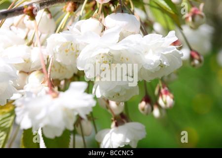 Prunus Avium Plena a beautiful blossoming cherry tree with drooping flowers fine art photography - Stock Photo