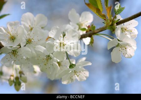 spring blossom prunus avium the wild cherry or sweet cherry tree  Jane Ann Butler Photography  JABP464 - Stock Photo