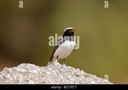 Adult male Finsch's Wheatear Oenanthe finschii perched on territory in Southern Turkey April - Stock Photo