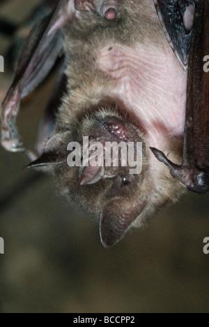 Captive Jamaican Fruit Eating Bat (artibeus jamaicensis) at the zoo. - Stock Photo