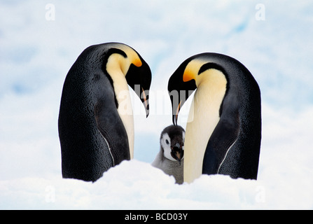 EMPEROR PENGUINS in courtship (Aptenodytes forsteri) with young behind. Antarctica - Stock Photo