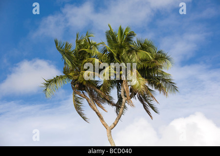 COCONUT PALM (Cocos nucifera). Tongatapu. Kingdom of Tonga - Stock Photo