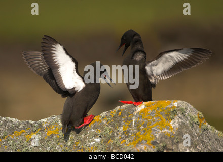Black guillemot (Cepphus grylle) displaying on a lichen covered rock. Shetland Isles - Stock Photo