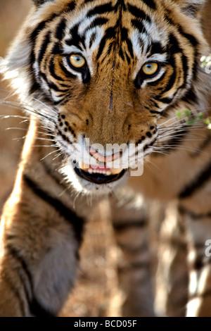 Bengal Tiger (Panthera tigris tigris) stalking. Ranthambore. India - Stock Photo
