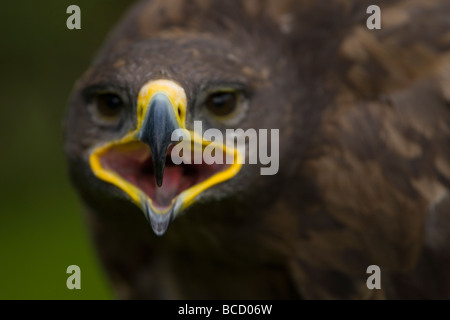 Steppe Eagle (Aquila nipalenis) Captive - Stock Photo