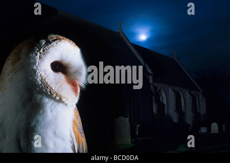 Barn Owl (Tyto alba) in Churchyard South Repps Norfolk November - Stock Photo