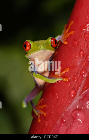 RED-EYED TREE FROG (Agalychnis callydrias). Guanacaste. Costa-Rica - Stock Photo