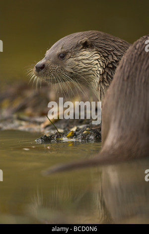 Otter (Lutra lutra) on river bank. Surrey. Captive - Stock Photo