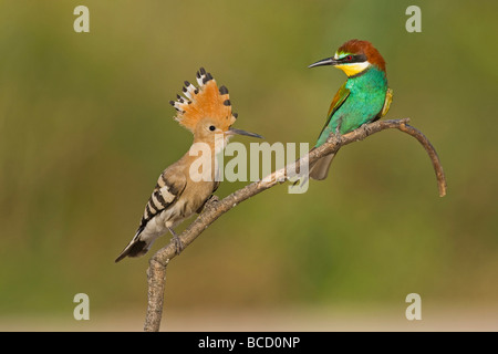Hoopoe (Upupa epops) and Bee-eater (Merops apiaster) on perch; Spain