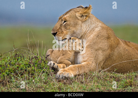 African Lion (Panthera leo) mother and very young cub. Masai Mara. Kenya. Africa - Stock Photo