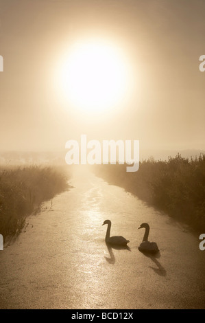 MUTE SWANS (Cygnus olor) in rhyne on the Somerset Levels. Somerset. England - Stock Photo