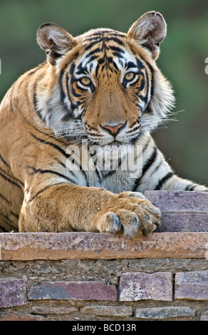 BENGAL TIGER (Panthera tigris tigris) female on old temple. India - Stock Photo