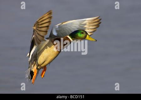 MALLARD (Anas Platyrhynchos) in flight over water. Lodmoor. Weymouth. Dorset. England - Stock Photo