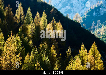LARCH TREES in autumn. Visic Pass. Triglav National Park. Julian Alps. Slovenia - Stock Photo