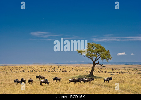 Common Wildebeest (Connochaetes taurinus) on plains during migration. Masai Mara. Kenya. Africa - Stock Photo