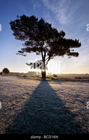 SCOT'S PINE (Pinus sylvestris) at sunrise. Bratley View. New Forest National Park. Hampshire. England - Stock Photo