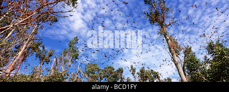 STRAW-COLOURED FRUIT BAT colony (Eidolon sp) migrate to Kasanka National Park annually and form a colony of up to - Stock Photo