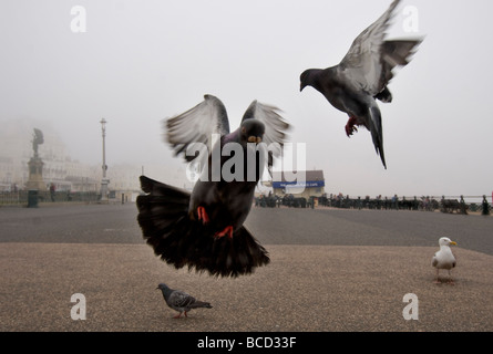 Pigeons and a gull on the seafront of the city of Brighton and Hove, Sussex - Stock Photo
