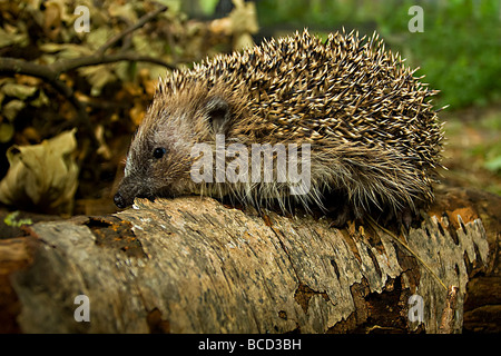 HEDGEHOG (Erinaceus europaeus) - Stock Photo
