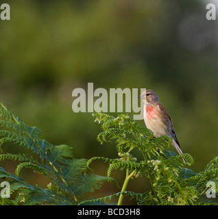 Linnet -Carduelis cannabina - Stock Photo