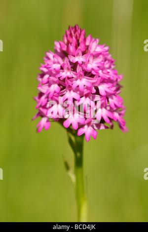 [Pyramidal Orchid], [Anacamptis pyramidalis], UK - Stock Photo