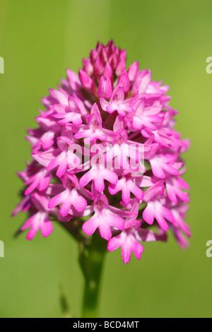 [Pyramidal Orchid], [Anacamptis pyramidalis], UK, 'close up' - Stock Photo