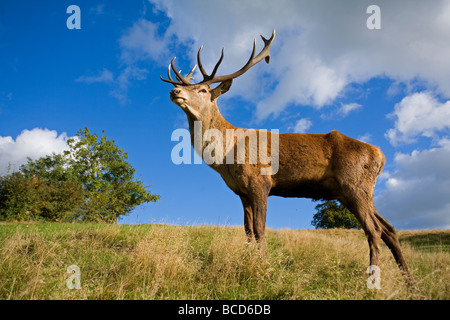 RED DEER (Cervus elephas) stag at his best during the rutting season. - Stock Photo