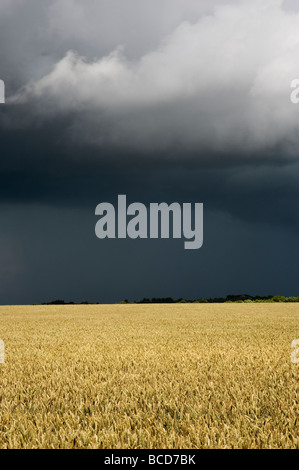 Wheat field against a stormy sky in the english countryside - Stock Photo