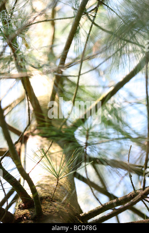 pinus wallichiania a stunning pine tree atmospheric JABP442 - Stock Photo