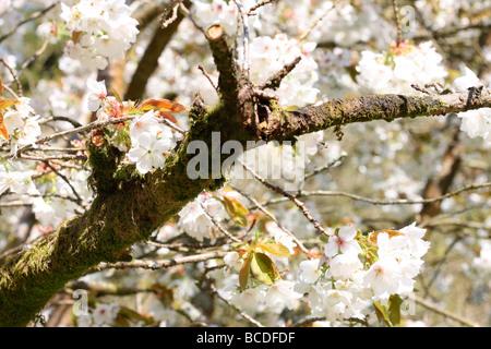 beautiful oriental cherry fine art photography Jane Ann Butler Photography JABP447 - Stock Photo