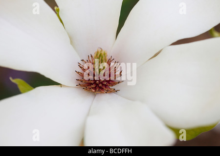 beautiful magnolia bloom with pollen fine art photography Jane Ann Butler Photography JABP443 - Stock Photo