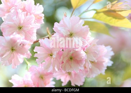 a taste of spring prunus japanese cherry blossom shirofugen fine art photography Jane Ann Butler Photography JABP459 - Stock Photo