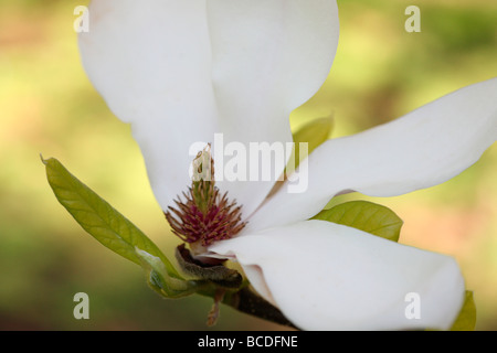 beautiful magnolia bloom form losing tepals fine art photography Jane Ann Butler Photography JABP444 - Stock Photo