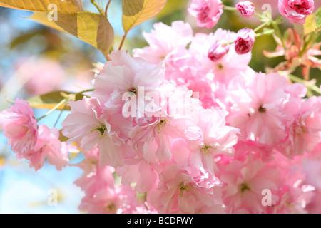 a taste of spring prunus japanese cherry blossom shirofugen fine art photography Jane Ann Butler Photography JABP458 - Stock Photo