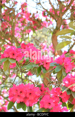 beautiful rhododendron bush blush pink and red blooms fine art photography Jane Ann Butler Photography JABP436 - Stock Photo