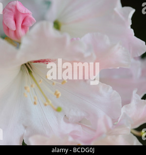a taste of spring beautiful white rhododendron cluster with pale pink bud fine art photography Jane Ann Butler JABP437 - Stock Photo