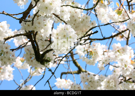 a taste of spring beautiful clusters of blossom from the great white cherry Tai Haku fine art photography Jane Ann - Stock Photo