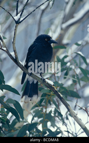 A Pied Currawong perches on a Gum Tree branch in a snow storm. - Stock Photo
