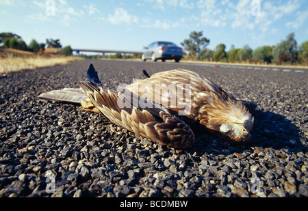 A car drives past a dead Black Kite lying splayed on the highway. - Stock Photo