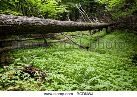 Fallen tree amongst forest undergrowth in Rouge Park an urban wilderness in Toronto Ontario Canada - Stock Photo