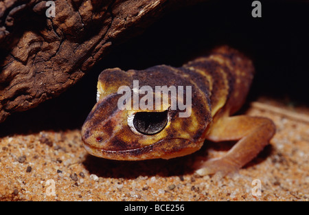 A Knob-tailed Gecko Nephrurus levis, hunting in a hollow log. - Stock Photo